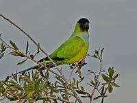 Nanaday-Parakeet