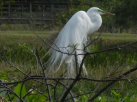 Great-Egret-Copy