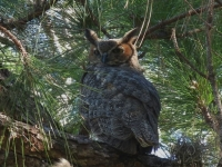 Great-Horned-Owl-Ollies-Pond
