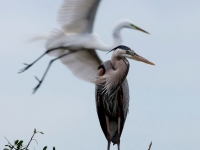 MG_0382Venice-Rookery-March-20-2014
