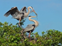 Nesting-Great-Blue-Herons