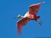 Spoonbill-Coming-In-For-Landing