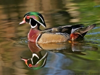 Wood-Duck-Reflection