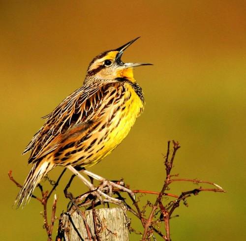 Singing Meadowlark
