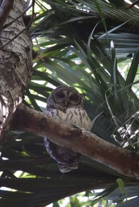 pennington-park-barred-owl-11-14