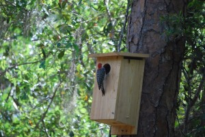 woodpecker-at-blind-2