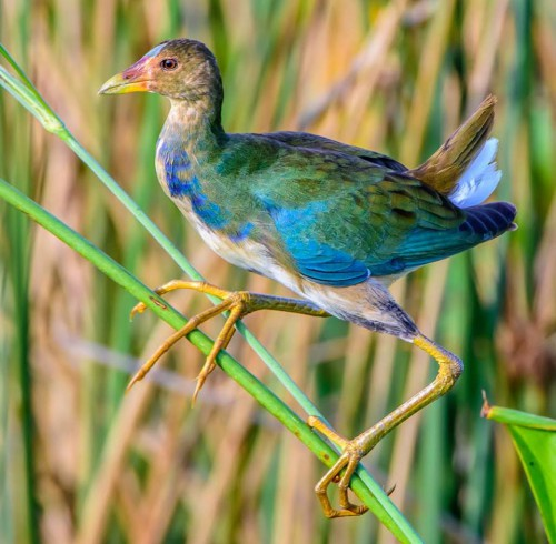 Jerry's Gallinule
