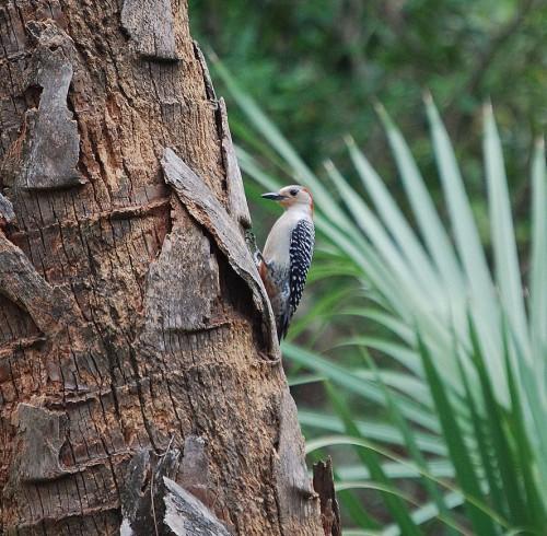 Bird Blind Red-bellied woodpecker 04.22.15