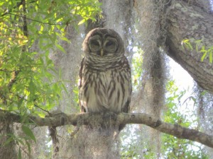 1Barred Owl2