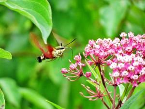 n02 3t Dave Lancaster Hummingbird moth a