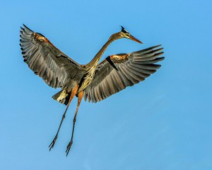 Jerry Waters - Great Blue Heron