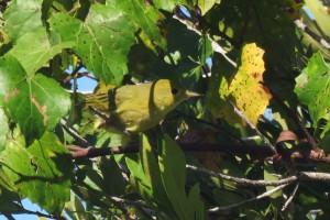 1warbler-yellow