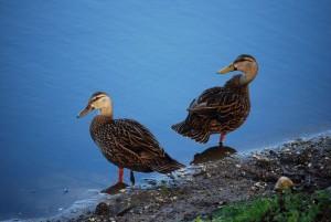 mottled-ducks-at-ollies-04-09-15
