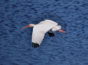 white-ibis-ollies-pond-01-02-14