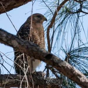 Red-shouldered Hawk - by Deb Peterson