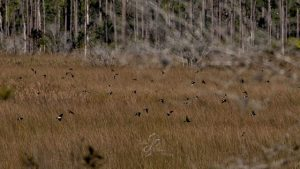 Tree Swallows fly over the march - by Deb Peterson