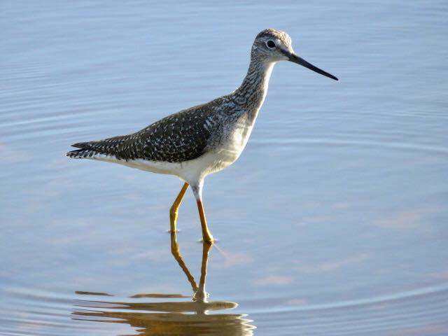 Lesser Yellowlegs by Phyllis Cady.