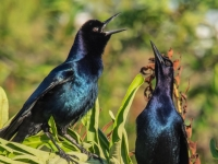 1st Place     Mike Kranbuhl    Boat-tailed Grackle