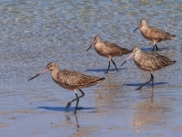 2nd Place    Mike Kranbuhl    Marbled Godwit