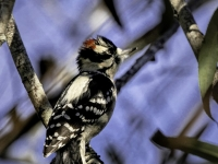 1st place - Deb Peterson - Downy Woodpecker