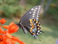 2nd place - Sue-Galvin - Black Swallowtail Butterfly