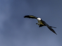 Swallow-tailed Kite by Jerry Waters