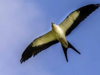 2 Swallow-tailed Kite  Jerry Waters
