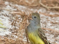 Great-Crested-Flycatcher-c