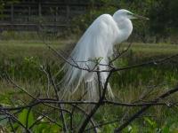 Great-Egret-Copy