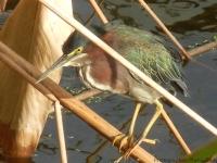 Green-Heron-Celery-Fields