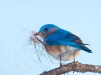 JWM-Bluebird-holding-nesting-material