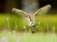 JWM-Burrowing-Owl-in-flight-c