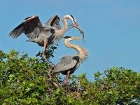 Nesting-Great-Blue-Herons