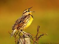 Singing-Meadowlark